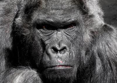 gorilla-monkey-ape-zoo-2.jpg