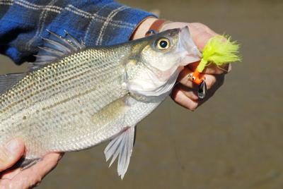 White bass run gearing up on rivers across East Texas