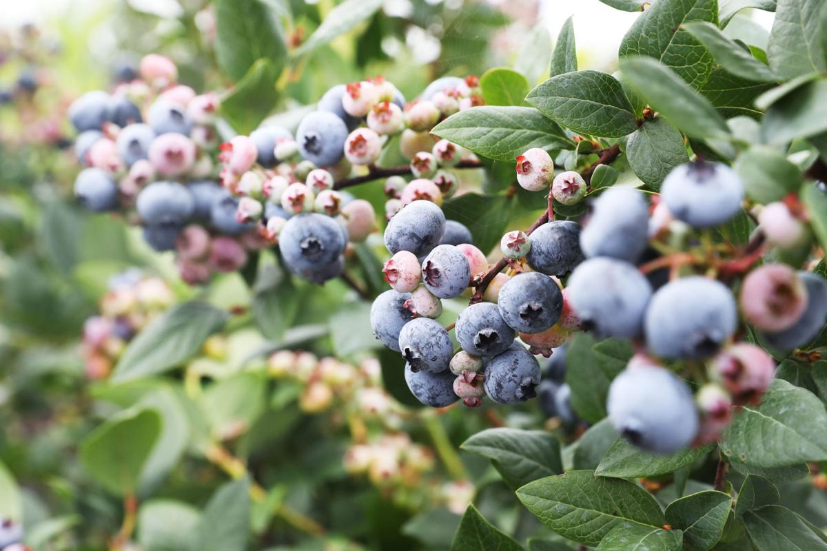 Lack of labor affects blueberry season