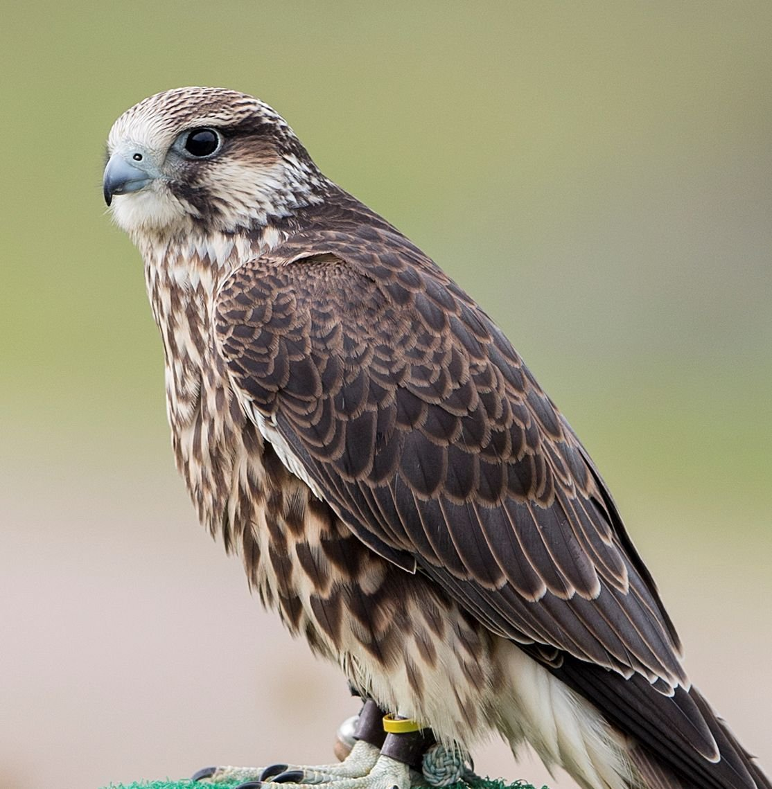 f72ca2f3 Seneca Meadows landfill announces names of baby falcons | Local News ...