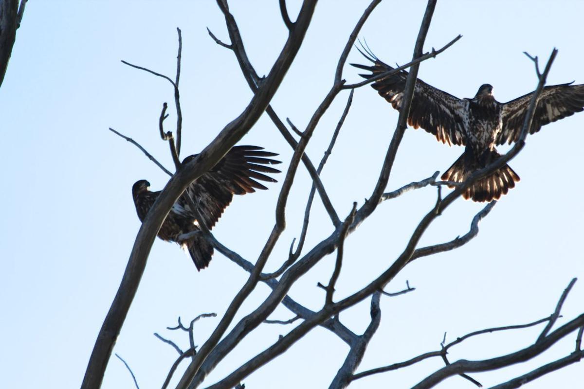 Letter provide nest spots for osprey eagles opinion for Auburnpub