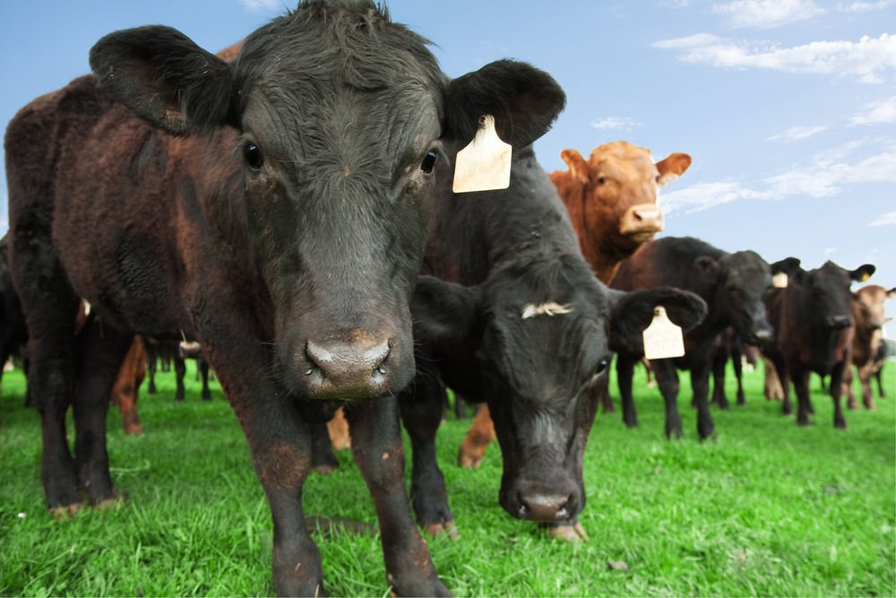 Beef cattle on farm