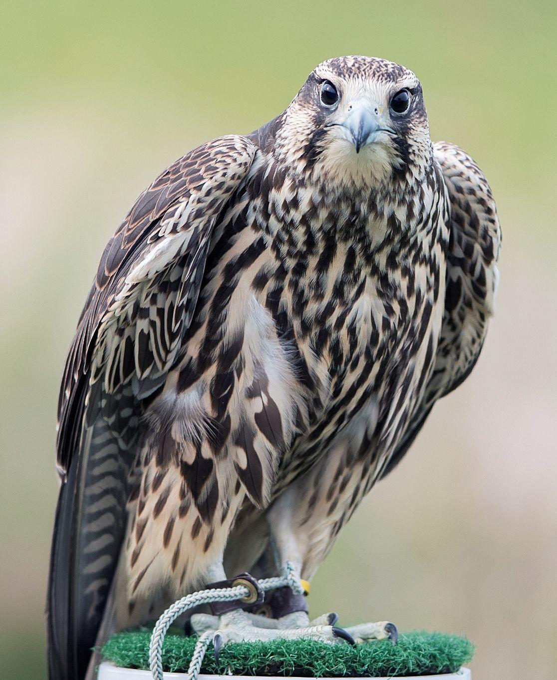 Seneca Meadows Landfill Announces Names Of Baby Falcons Local News Auburnpub Com