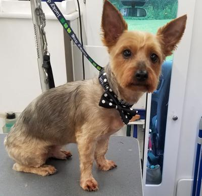finger lakes spca yorkie mix scottie will beam up your heart lake