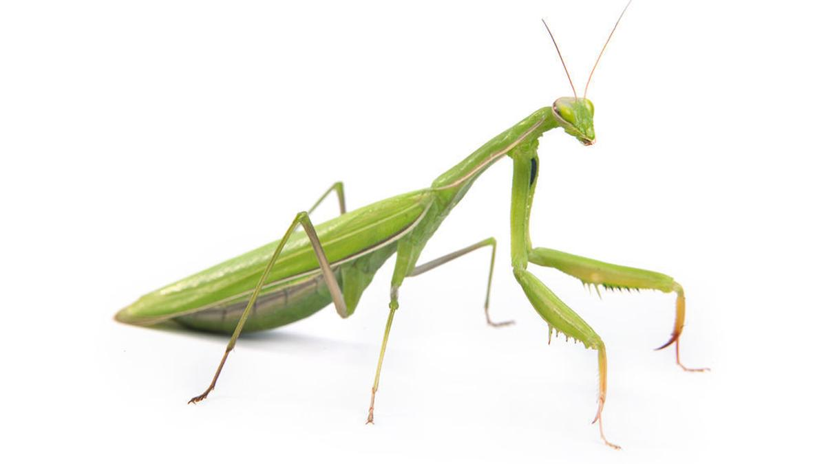 Eco Talk The Curiosity That Is The Praying Mantis Lifestyles