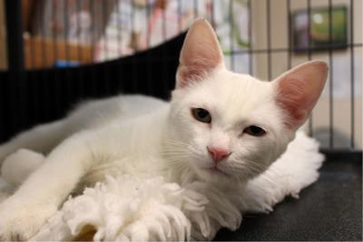 Finger Lakes Spca Young Cat Santana Hopes For Smooth Transition To