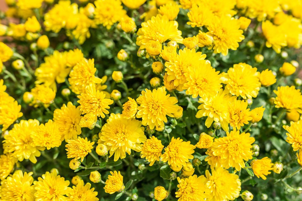 Cosentino the versatile chrysanthemum flower lake life chrysanthemums yellow chrysanthemum flowers mightylinksfo