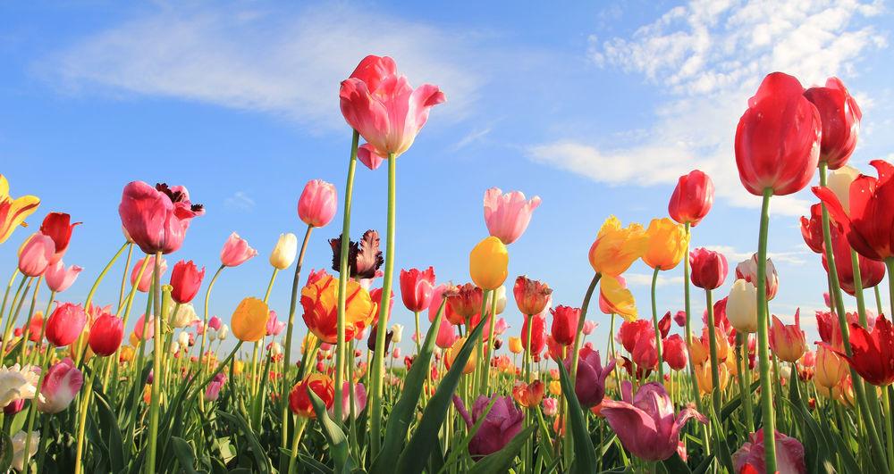 Cosentino Tips For Planting Tulips Lifestyles Auburnpub Com