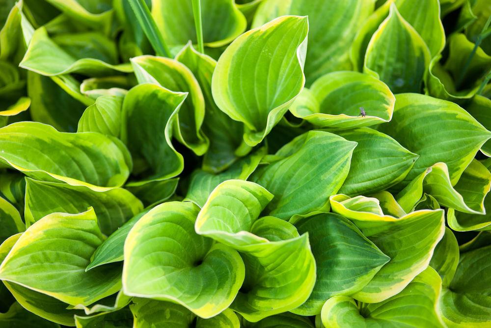 Green leaves of hosta