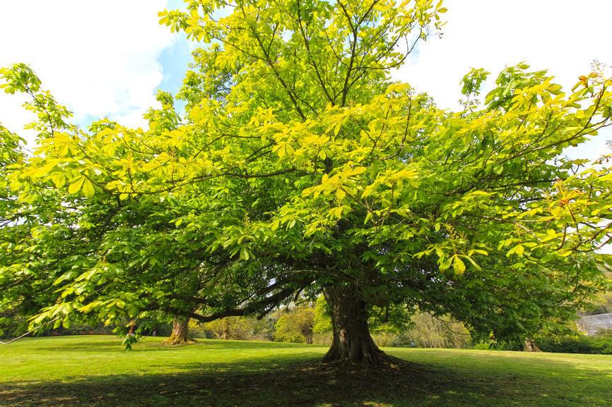 Eco Talk Bringing back the American chestnut tree Lake Life