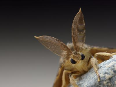 Washington state now has another bug to worry about after 'murder hornets.' Gypsy moths