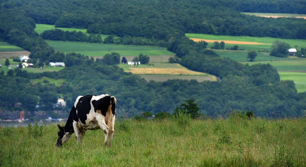 Owasco Lake Cows 1.JPG