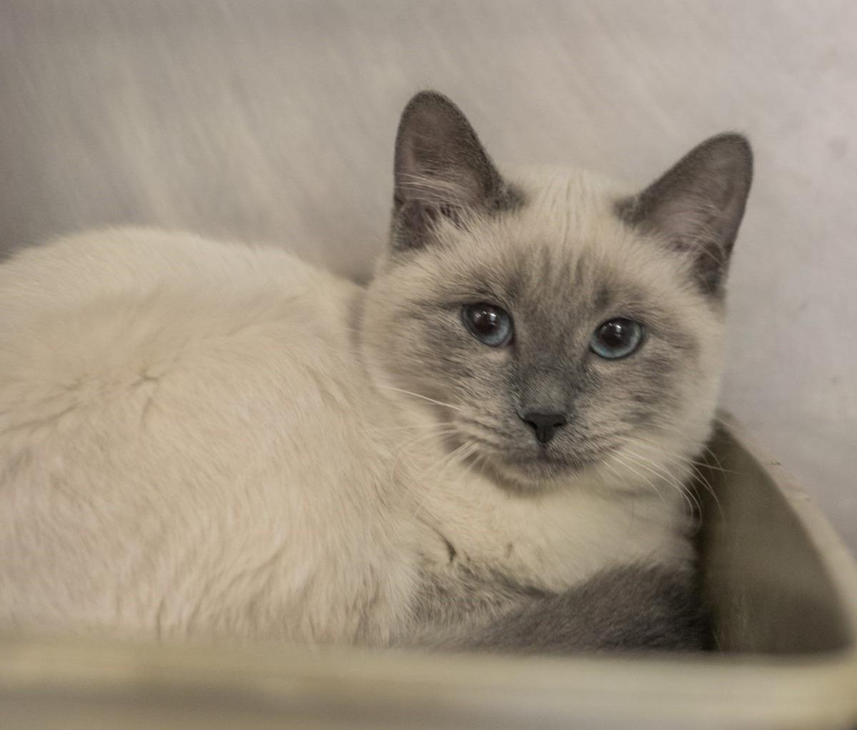 bcd152bc1ce Finger Lakes SPCA  Part-Siamese cat Poppy seeks her soulmate