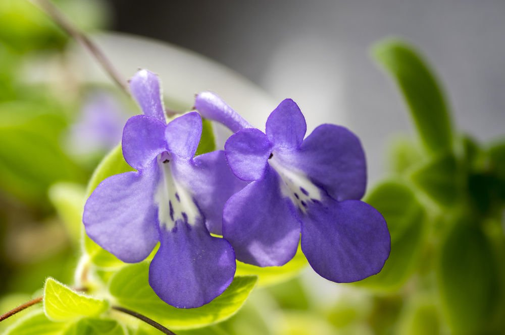 Streptocarpus saxorum in bloom