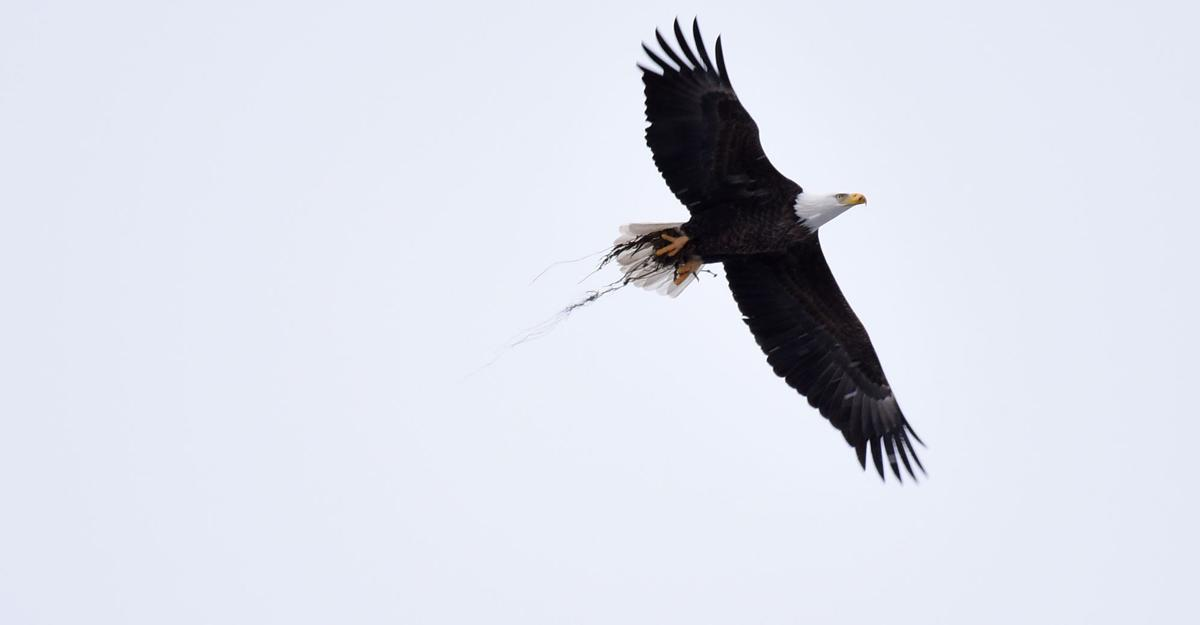 Lead poisoning threatens New York\'s bald eagles | Local News ...