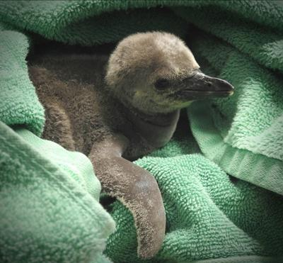 rosamond gifford zoo holds vote to name new penguin chick local
