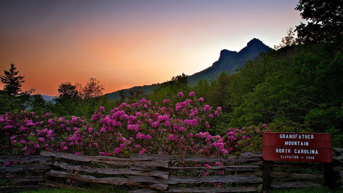Rhododendrons on Grandfather