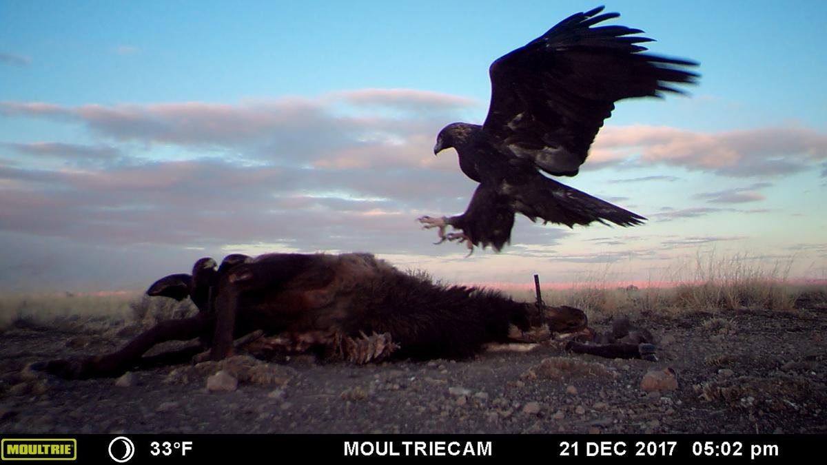 Eagle on roadkill