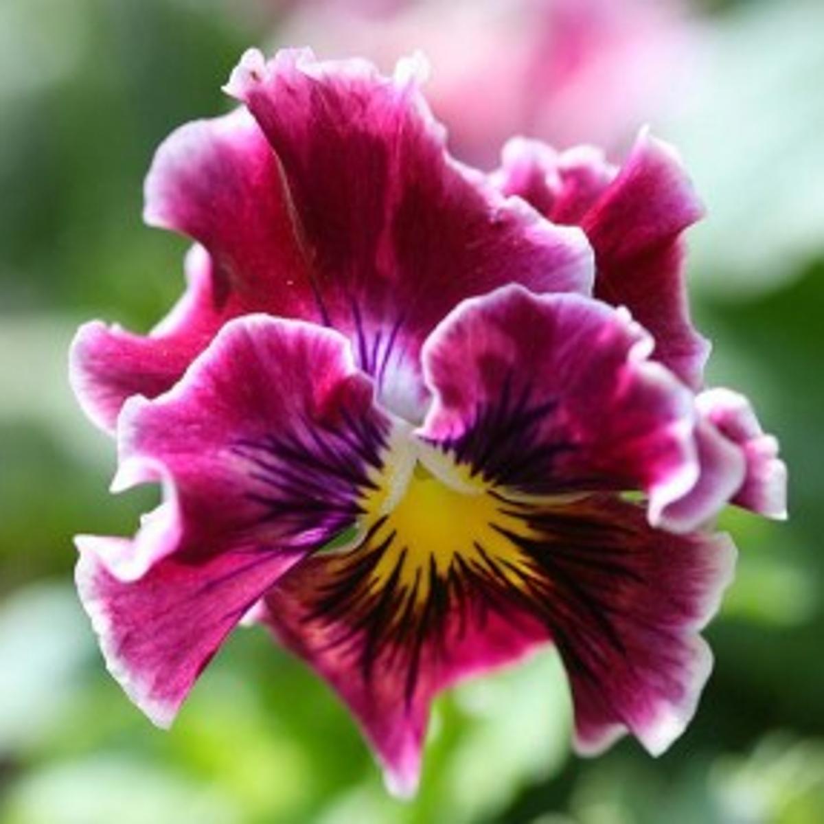 Pansies Tough Triple Threats Home And Garden Azdailysun Com
