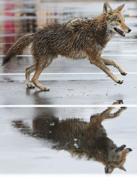 coyote in rain