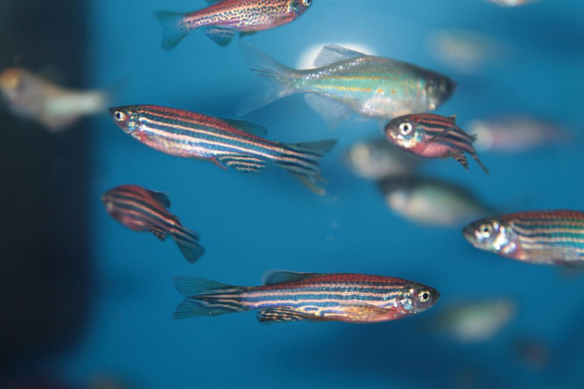 LIFE SCI-ZEBRAFISH-HUMANS MYO