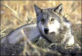 Study: Wolves help restore ecosystems