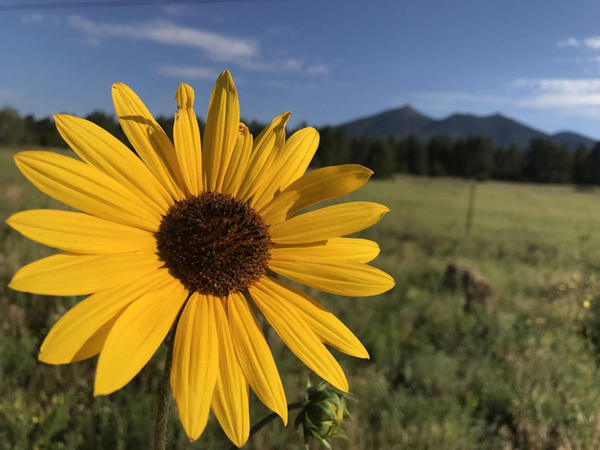 Flagstaff Summer Flowers Blooming Early Local Azdailysun Com