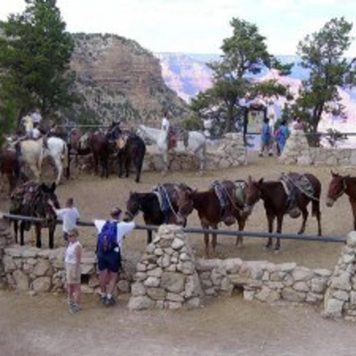 Few neutral on Canyon mules | News | azdailysun com