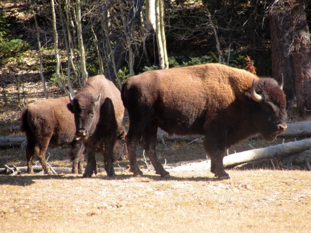 Bison in Grand Canyon