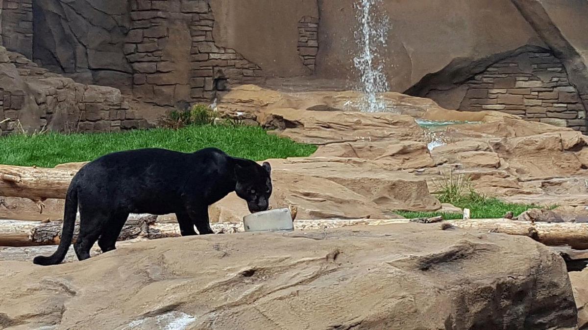 bearizona jaguar exhibit to open sunday local
