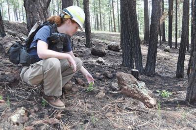 Underbrush In Owen Park Is So Dense Its >> Letting The Forest Burn Local Azdailysun Com