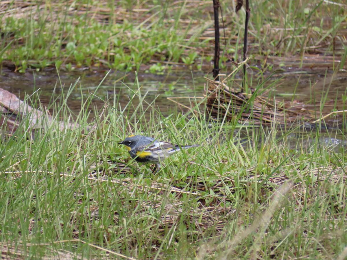yellow-rumped warbler Ruess