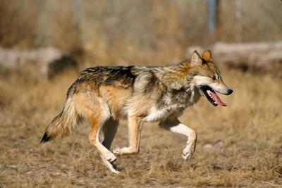 Wolf War