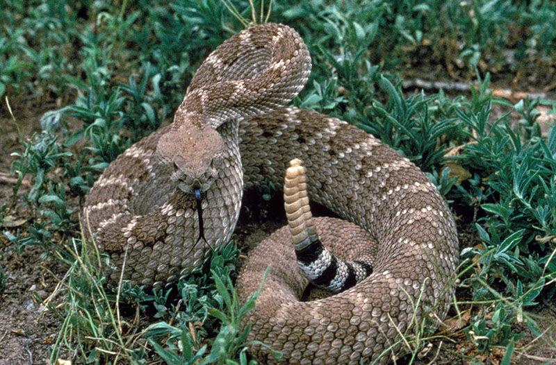 Western-Diamondback-Rattlesnake