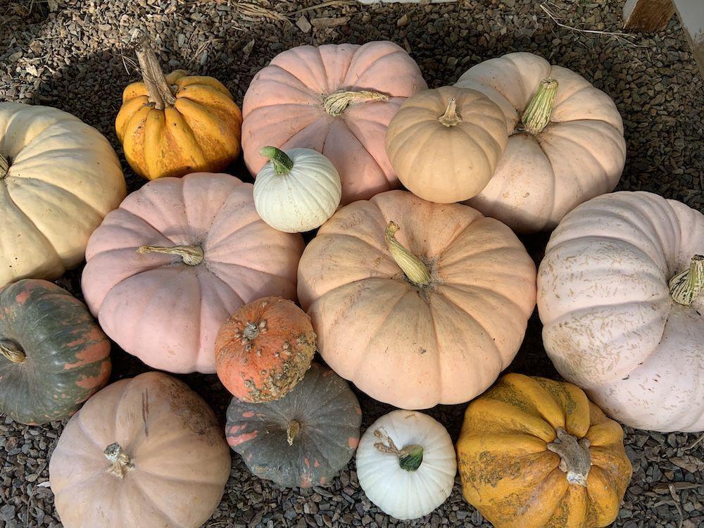 Pumpkin patch harvest.JPG