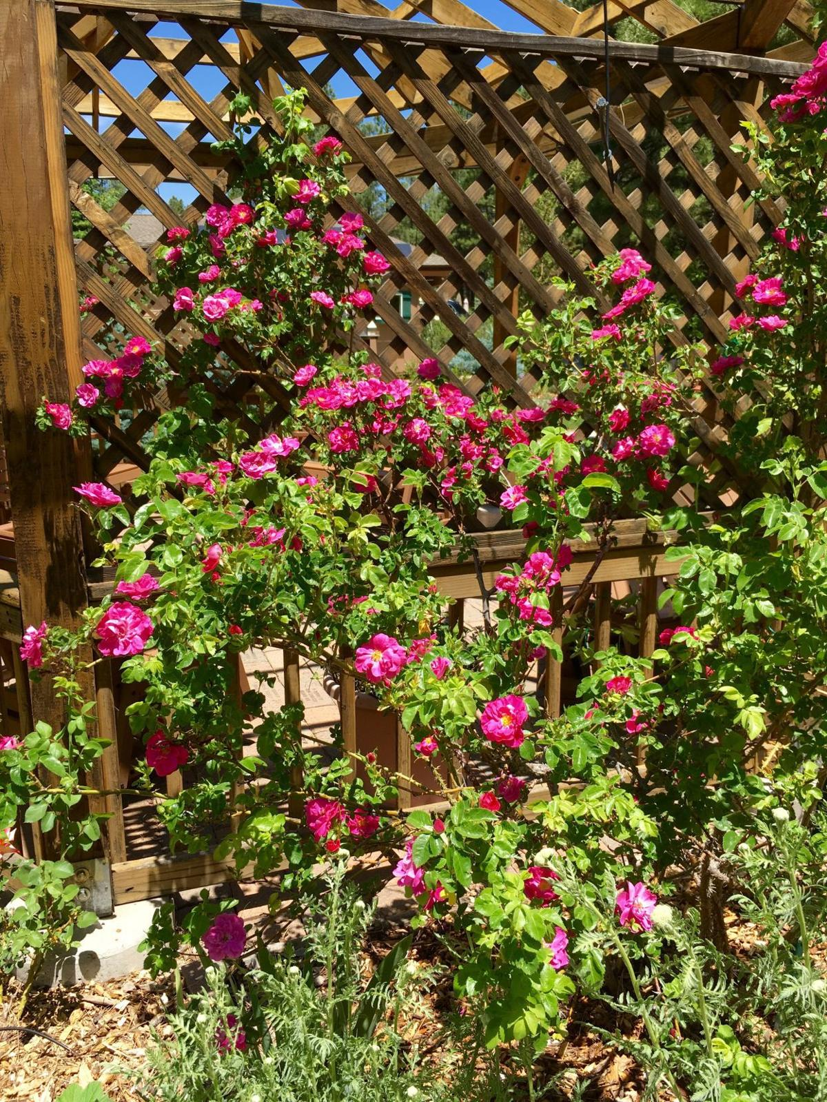 Gardening Etcetera: A rose is a rose was a rose | Columnists ...