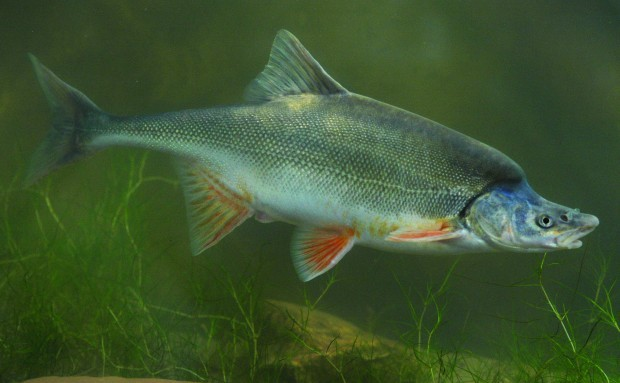 More canyon fish facing electroshock local for Az game and fish phone number