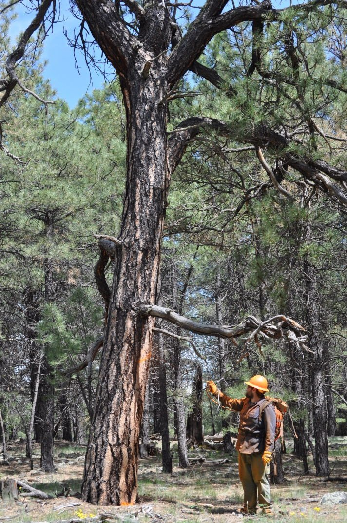 Marking the forest for restoration