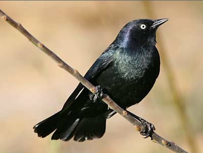 Ask a Ranger: Get to know Flagstaff's black birds