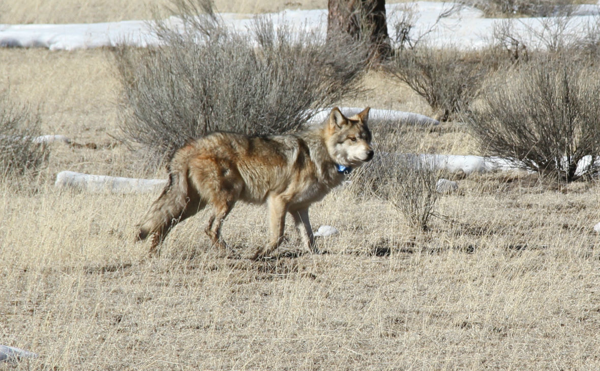 Mexican wolf releases
