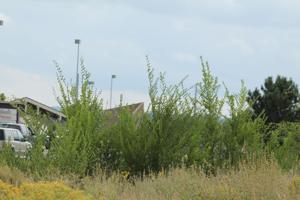 Gardening Etcetera: Can a tree also be a weed?
