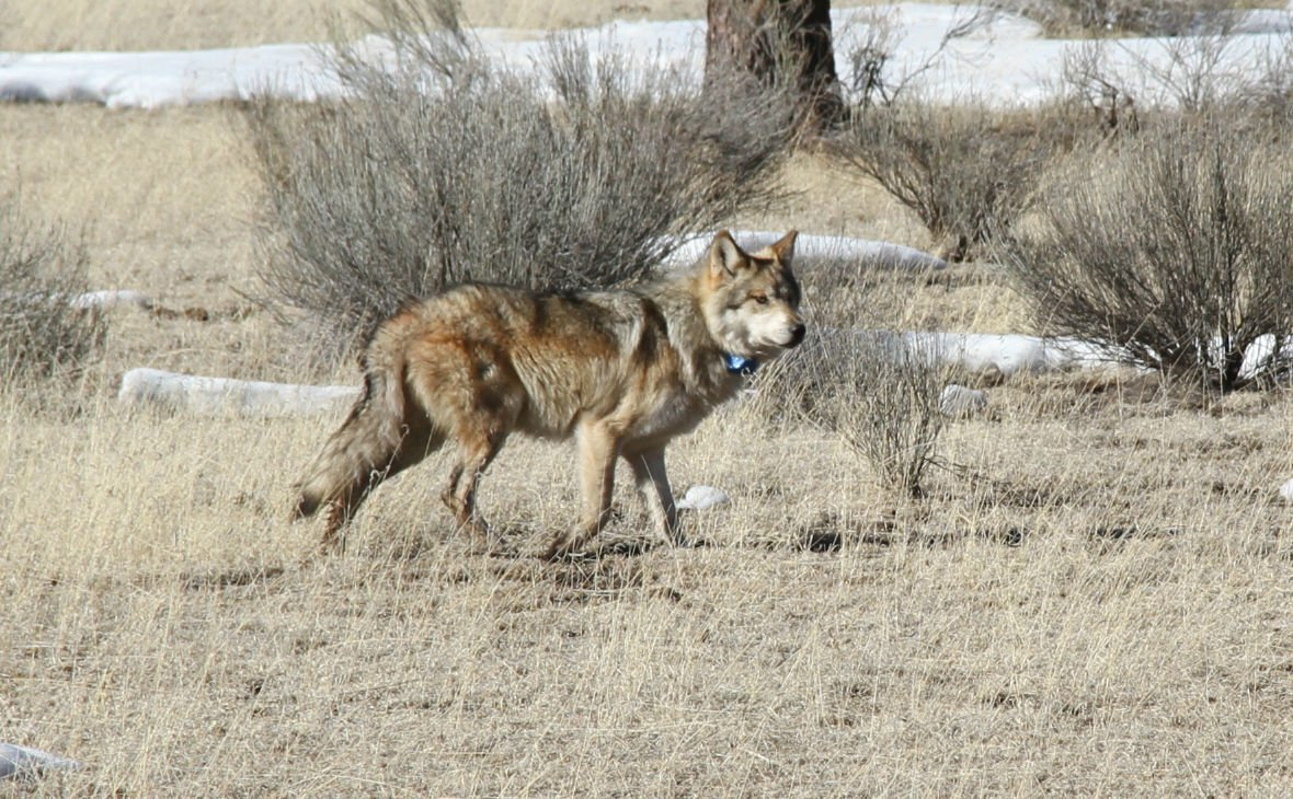 Judges ruling could mean mexican wolves allowed to roam north of a male mexican gray wolf that was temporarily captured by an interagency field team during annual counts in early 2016 is released back into its home biocorpaavc Gallery