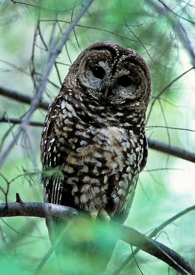 Mexican Spotted Owl1