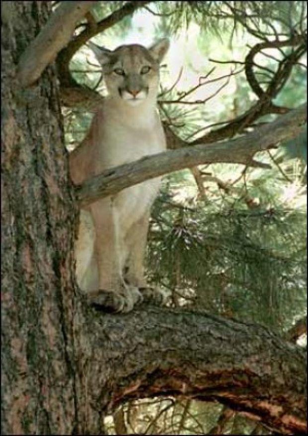 Mountain Lion Attacking Deer Mount