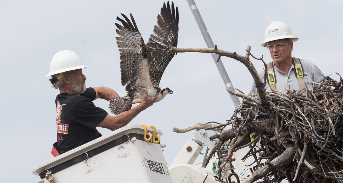 Workers free the osprey