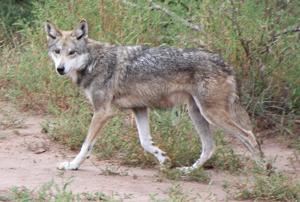 Endangered Mexican wolf killed following livestock attacks