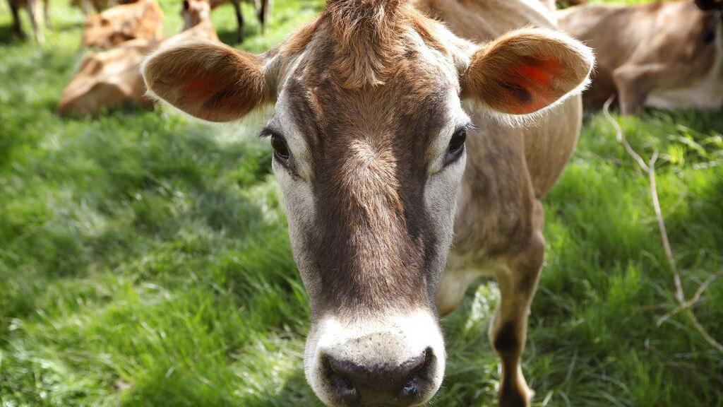 With cheeky ad campaign, Burger King changes cows' diets to cut methane output
