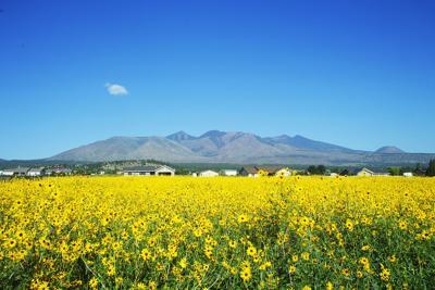 Sunflower Pasture