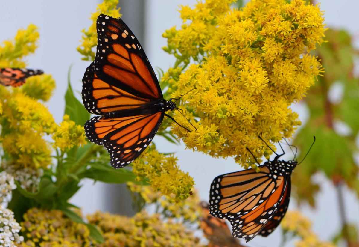 Butterfly House open through Oct. 1
