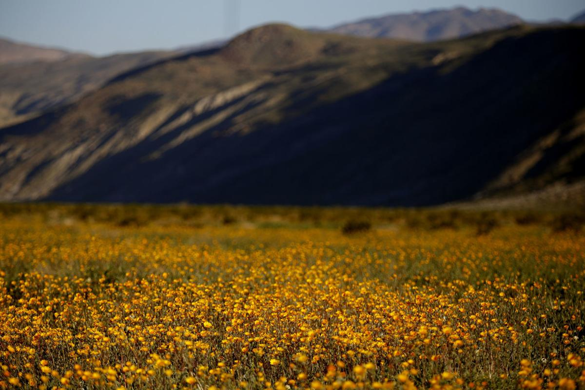Californias Desert Wildflowers Go From Bloom To Bust National